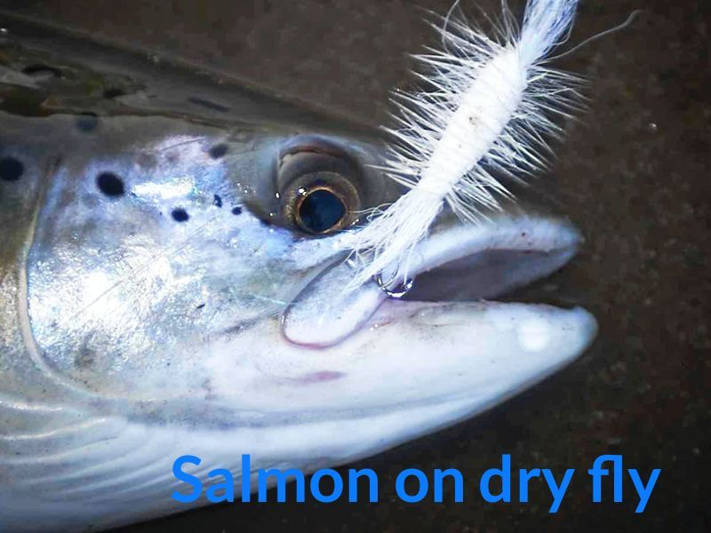 salmon on dry fly