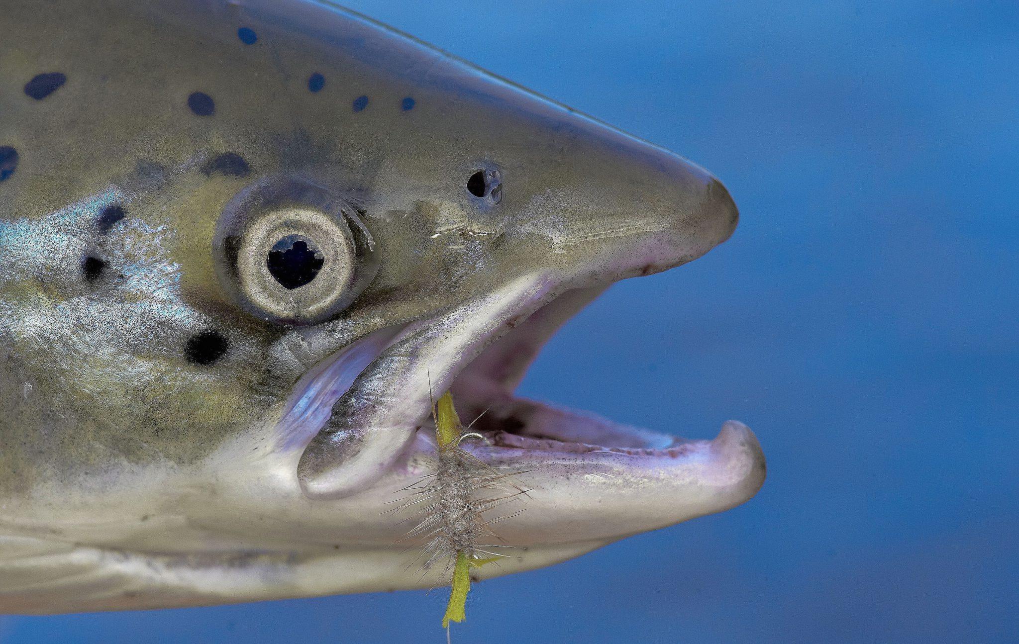 small salmon bugs