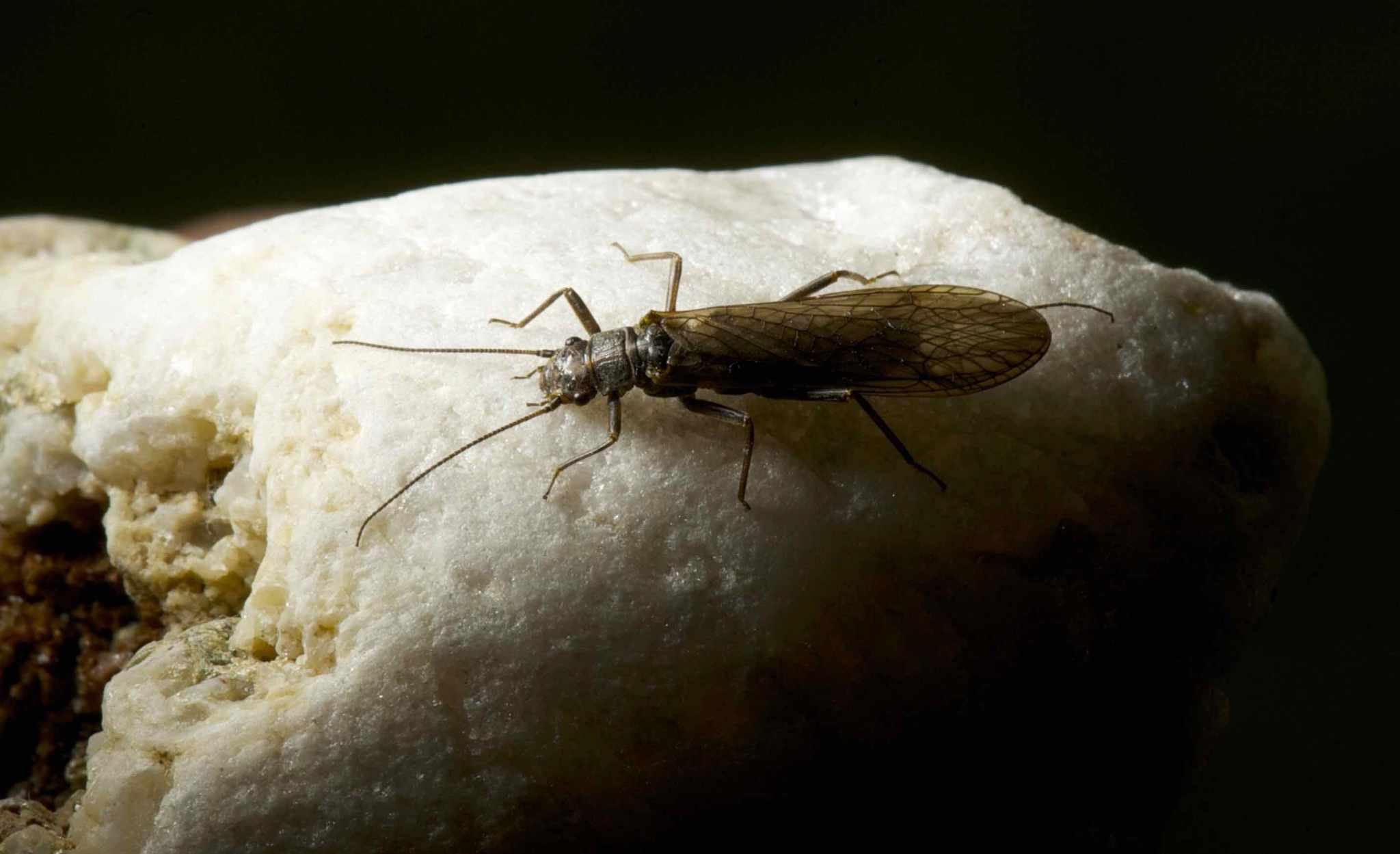 stonefly for salmon and steelhead