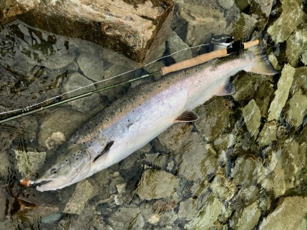 Salmon on Bomber dry fly